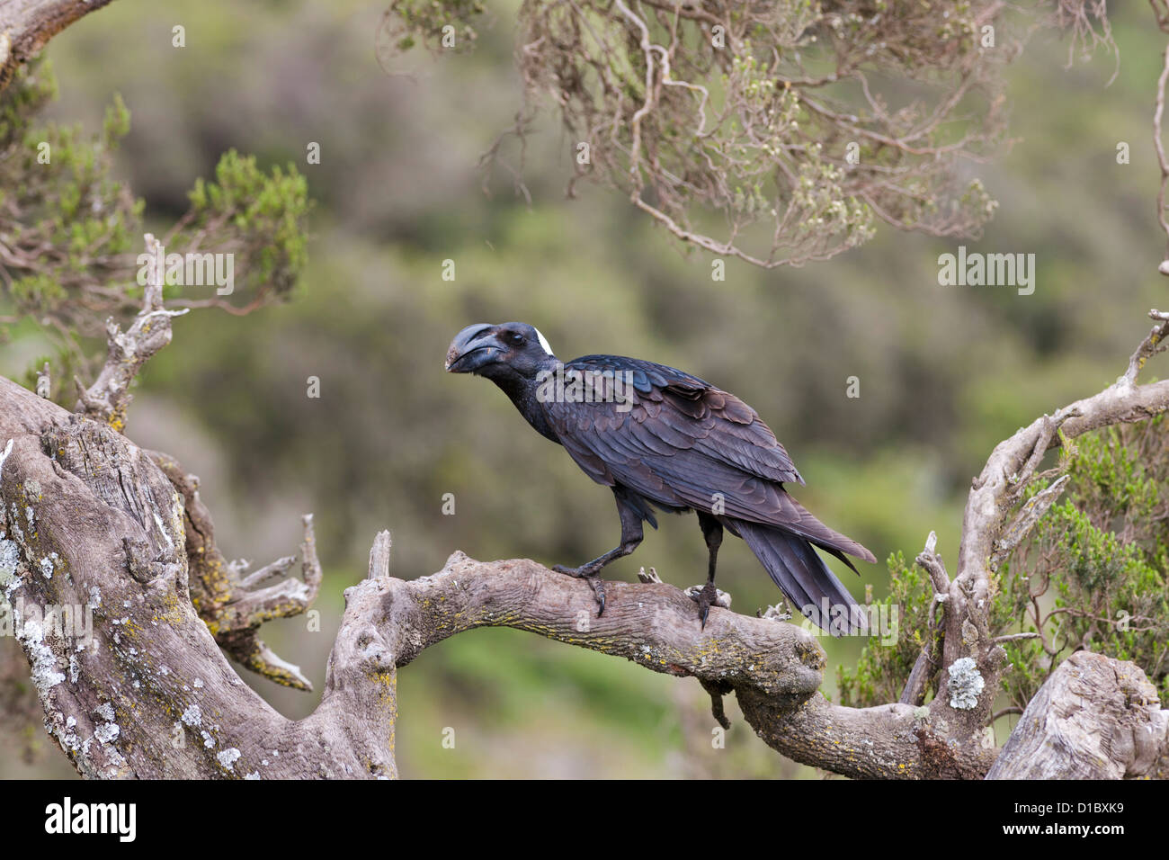 Thick-billed raven (Corvus crassirostris) in the highlands of Africa, East Africa, Ethiopia - Stock Image