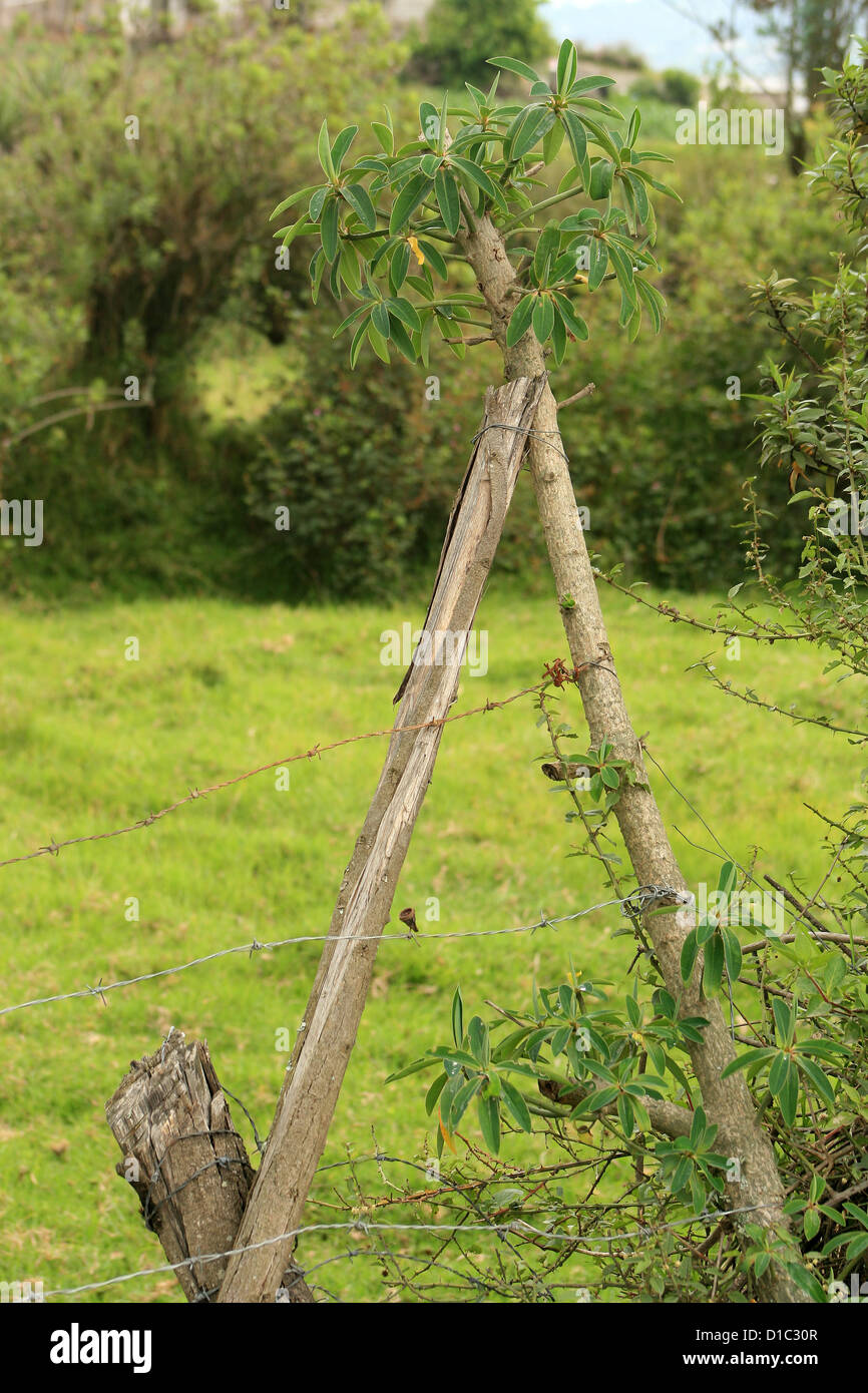 A barbed wire fence attached to a living tree in a pasture in Cotacachi, Ecuador - Stock Image