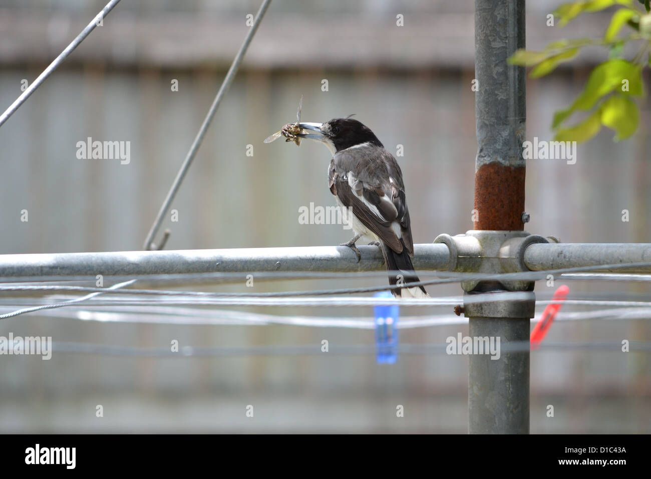 butcher bird on clothesline with insect in its beak - Stock Image