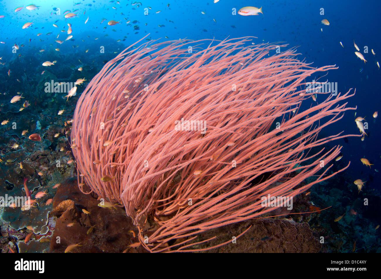 Anthias hover over bright red seawhips, Ellisella sp., Spice Islands, Maluku Region, Halmahera, Indonesia, Pacific Stock Photo