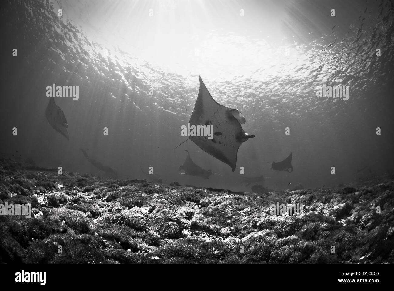 Manta rays in cleaning station let us approach them and get very near. Taken in  komodo national park - Stock Image
