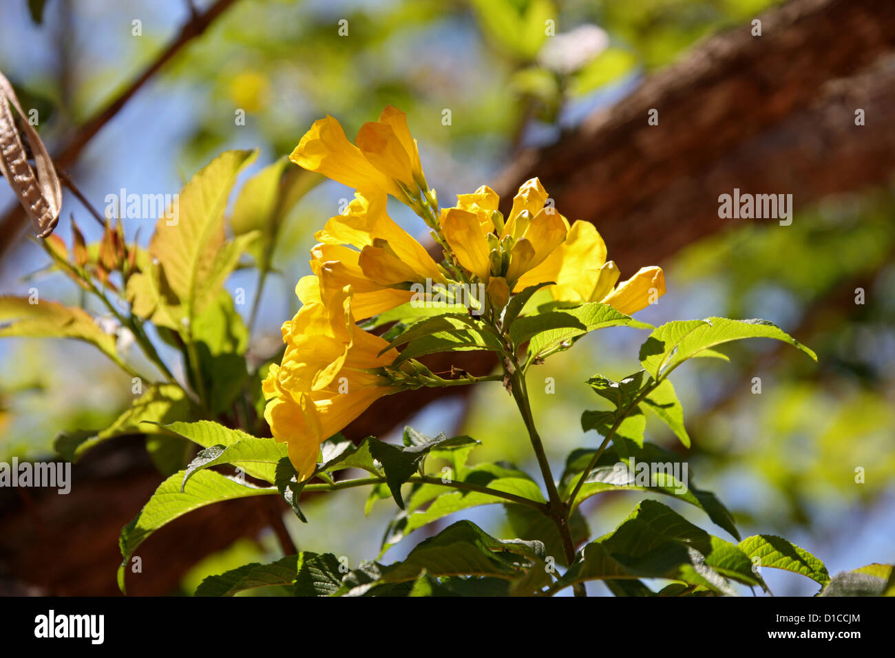 Yellow Elder Stock Photos Yellow Elder Stock Images Alamy