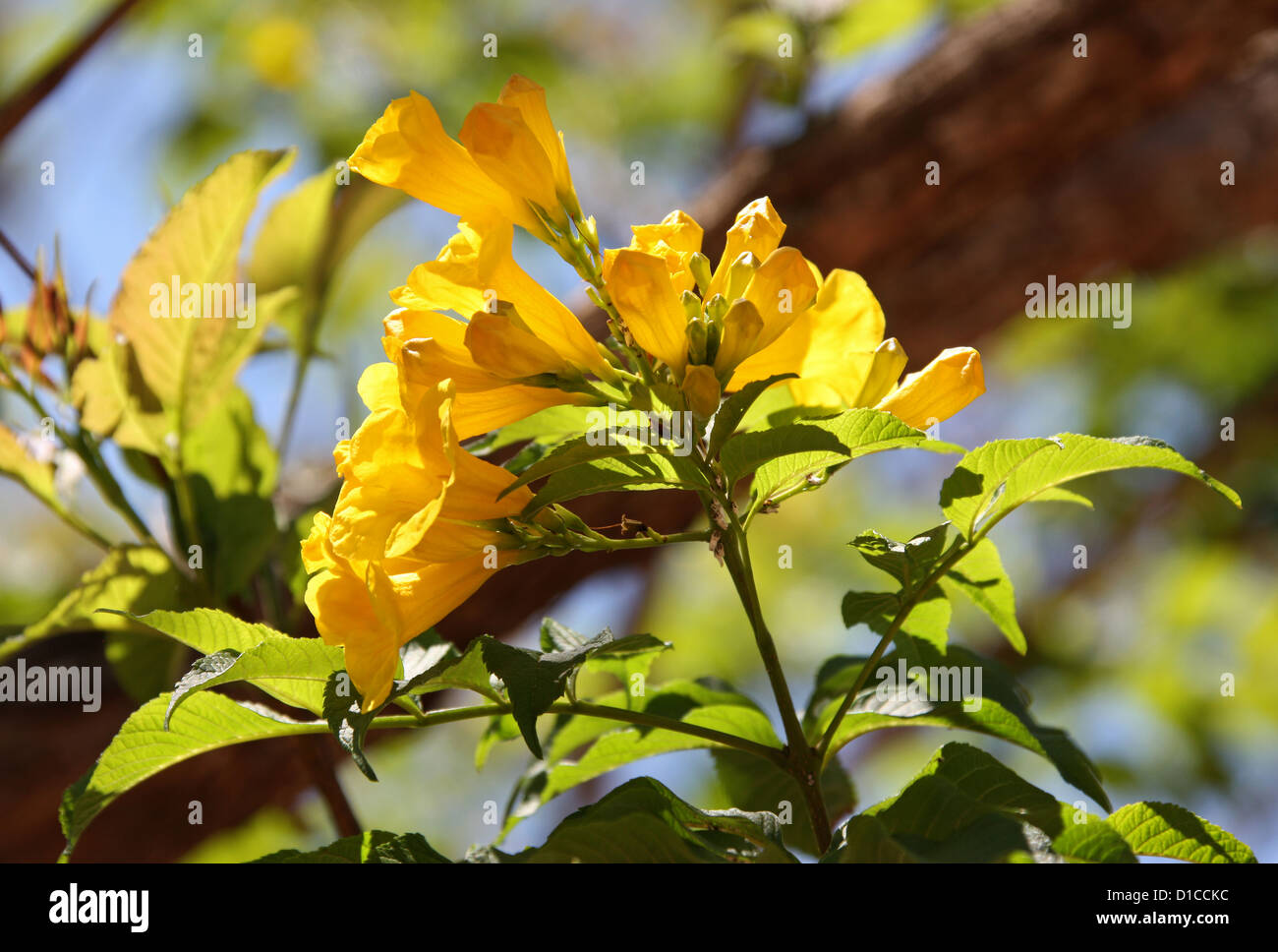 Yellow Elder Tree, Tecoma stans, Bignoniaceae. Native to the Tropical Americas. This Specimen Photographed in Madagascar, - Stock Image