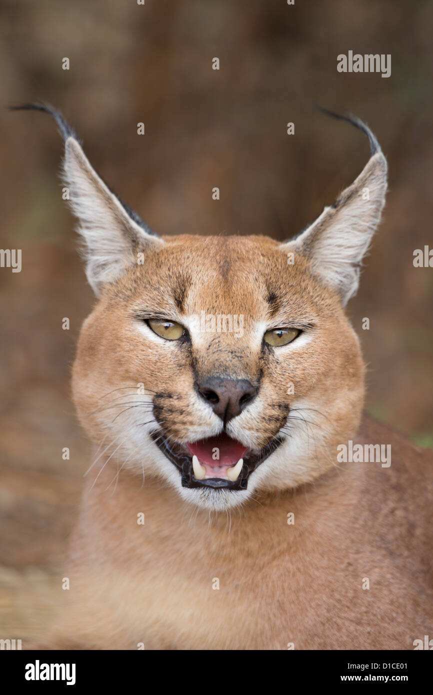 Portrait of a male caracal in Namibia - Stock Image