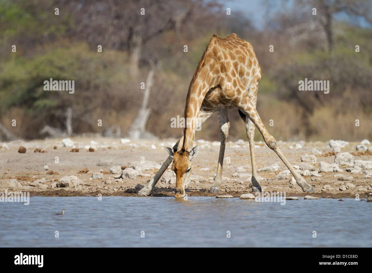 Giraffe drinking at Klein Namutoni waterhole in Etosha National Park, Namibia - Stock Image