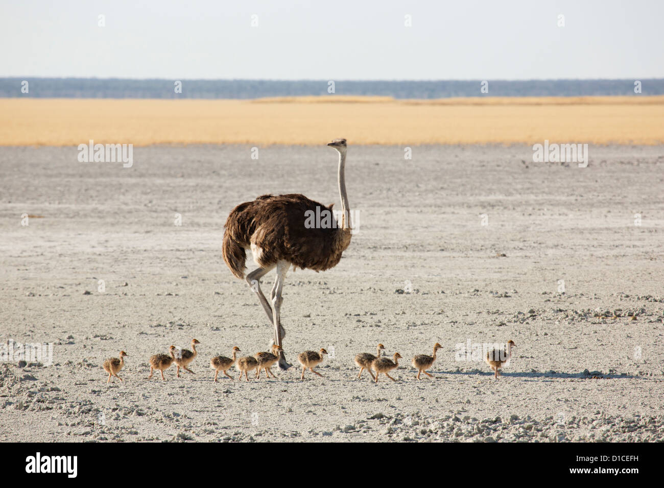 Female ostrich and her brood of chicks in Namibia - Stock Image