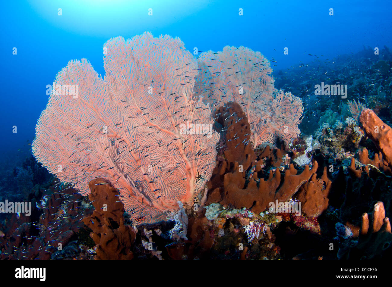 Schooling juvenile convict fish, seafans, and sponge, Spice Islands, Maluku Region, Halmahera, Indonesia, Pacific Stock Photo