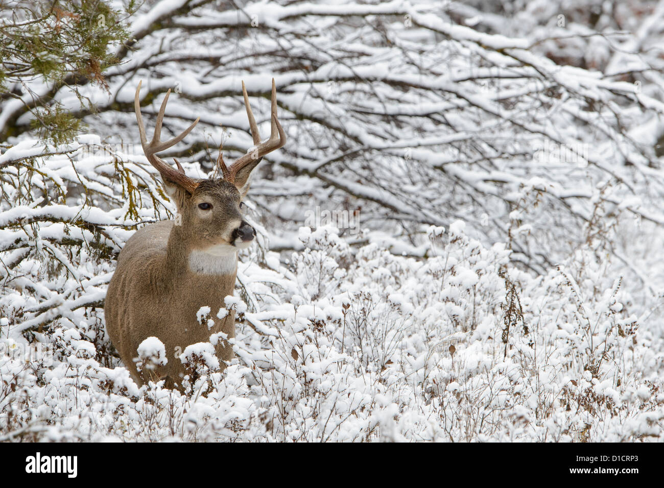 White-tailed Buck in fresh snow, Western Montana - Stock Image