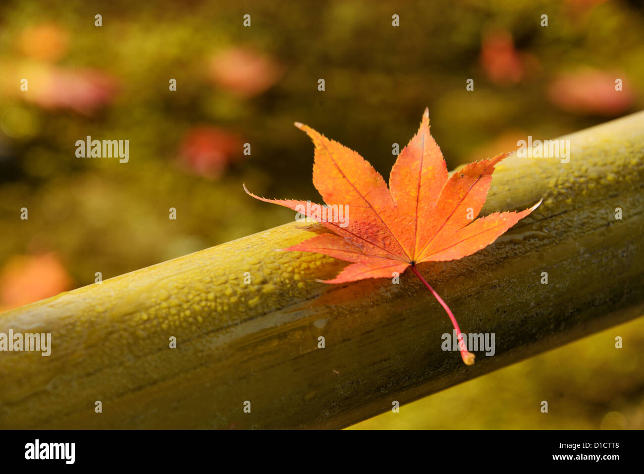 Red maple leaf soaked in morning dew on a bamboo fence. - Stock Image
