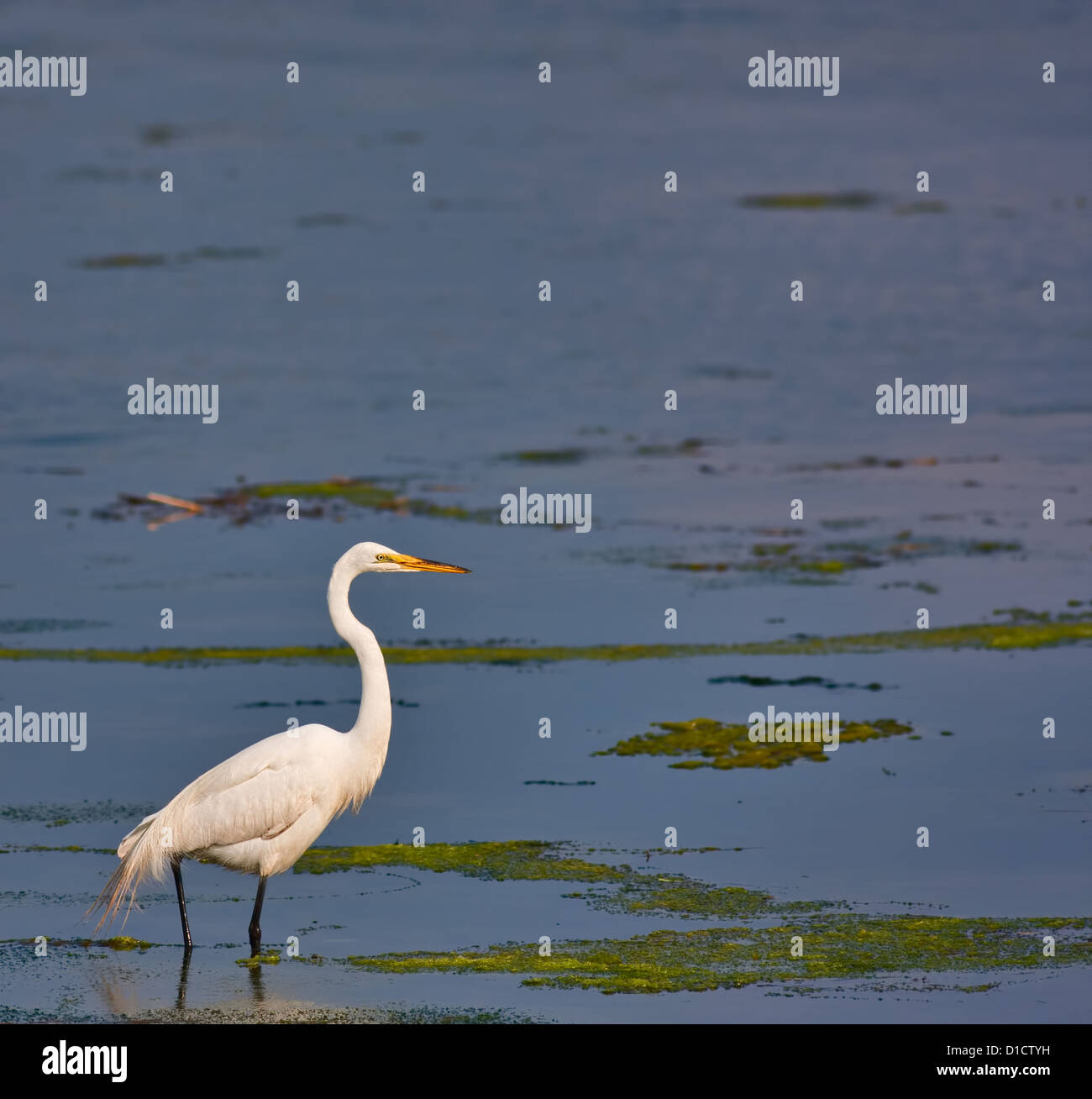 A great white egret in a salt water marsh. The egret is fairly small in the frame leaving plenty of room for text. - Stock Image