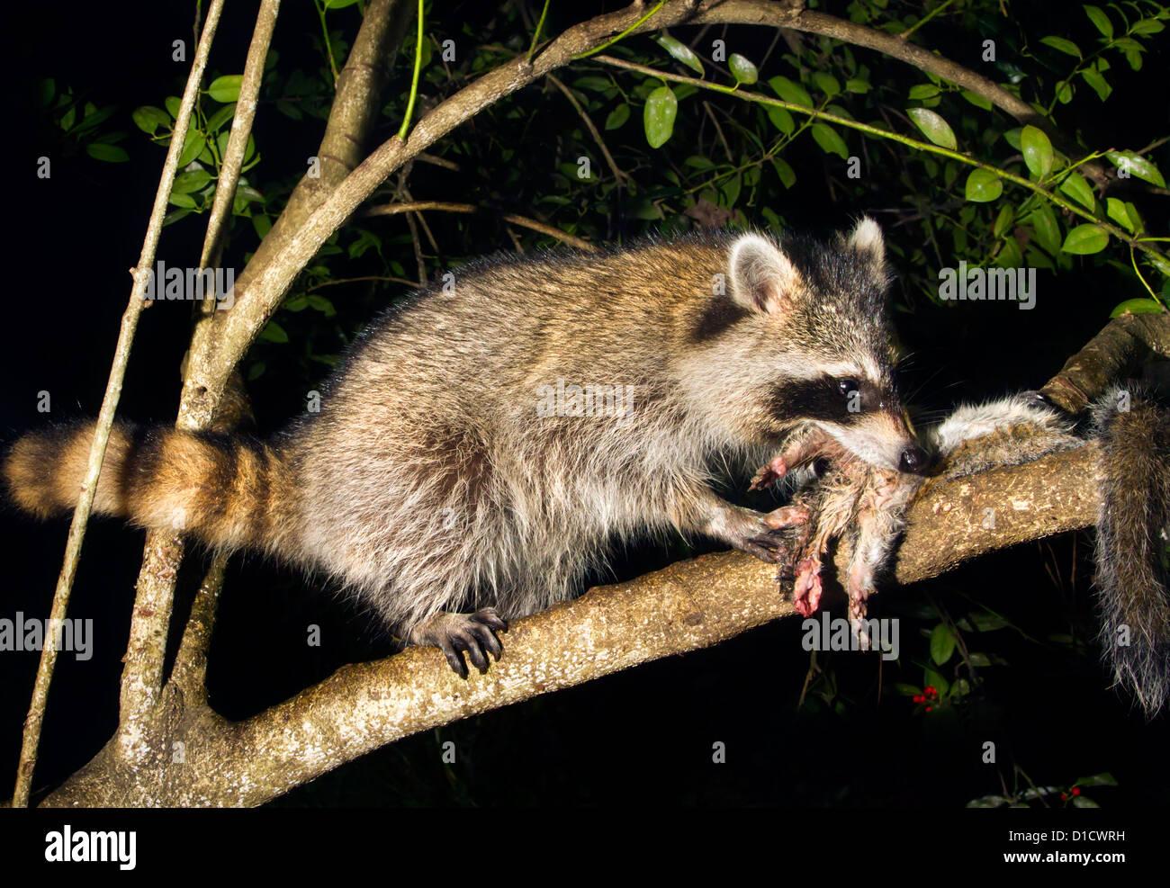 Raccoons Deutsch