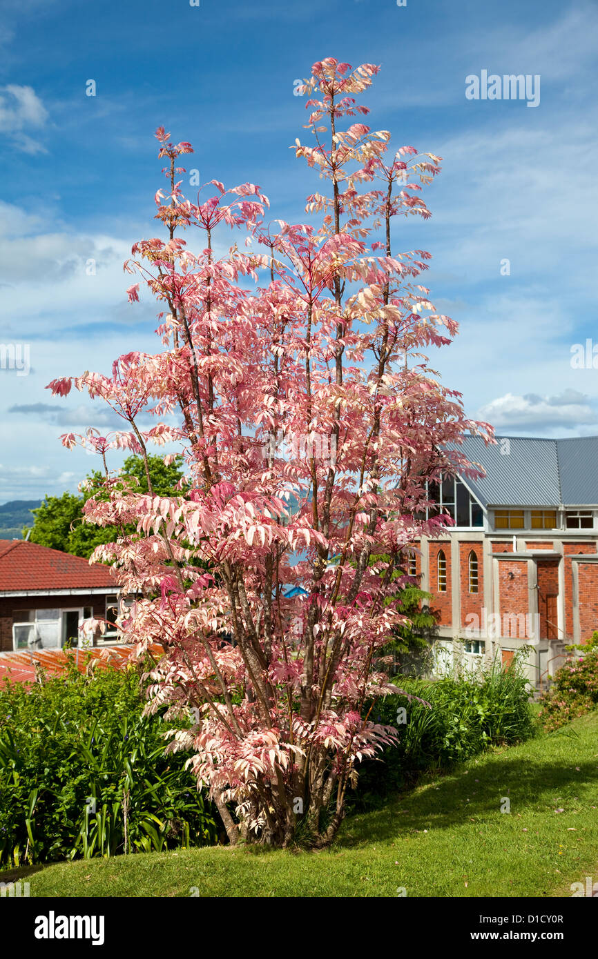 Pink Toon Tree, Cedrela Sinensis. Rotorua, north island, New Zealand. - Stock Image