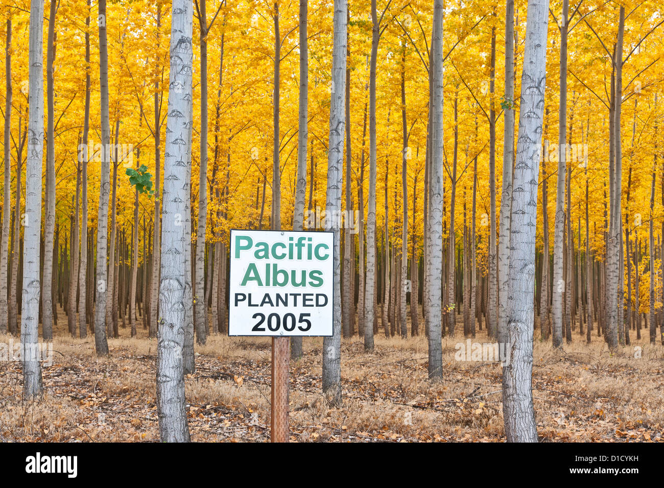 Hybrid Poplar plantation, Oregon - Stock Image