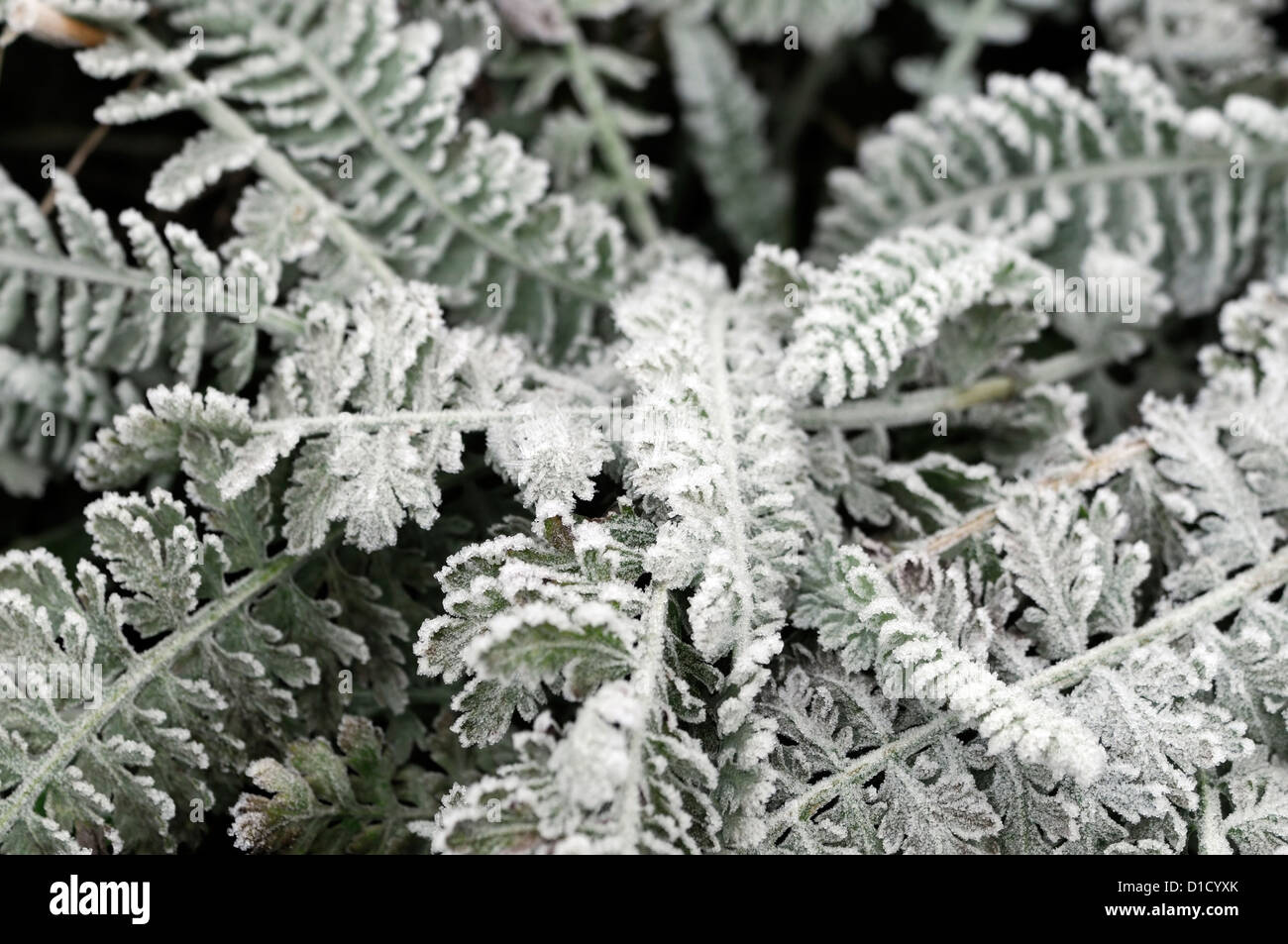achillea millefolium moonshine silver grey foliage cover covered frost frosty ice icy coating autumn early winter - Stock Image