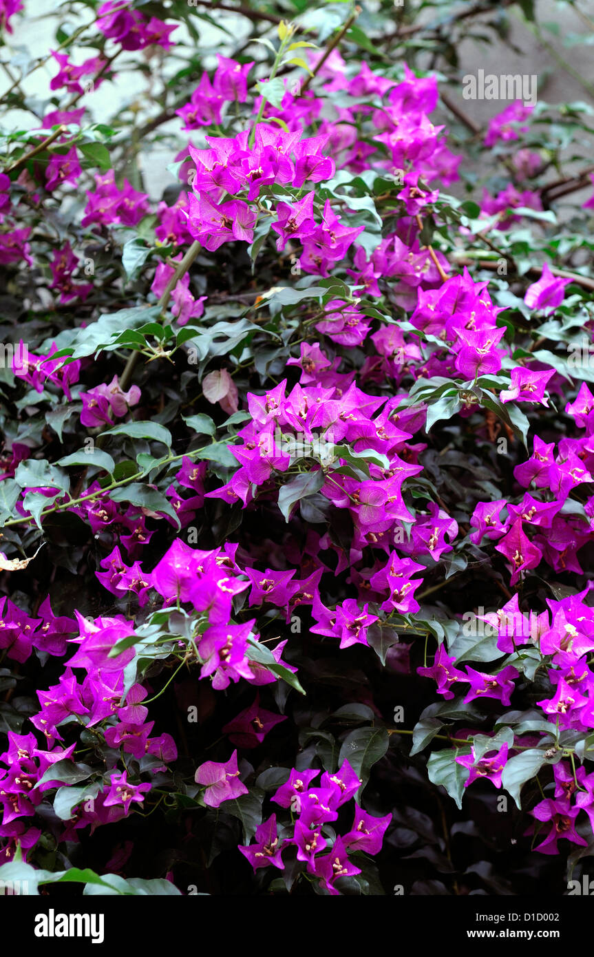 Climbing bougainvillea stock photos climbing bougainvillea stock bougainvillea spectabilis pink flowers flowering booms blossoms tropical sub tropical plant plants vines vine climbing mightylinksfo