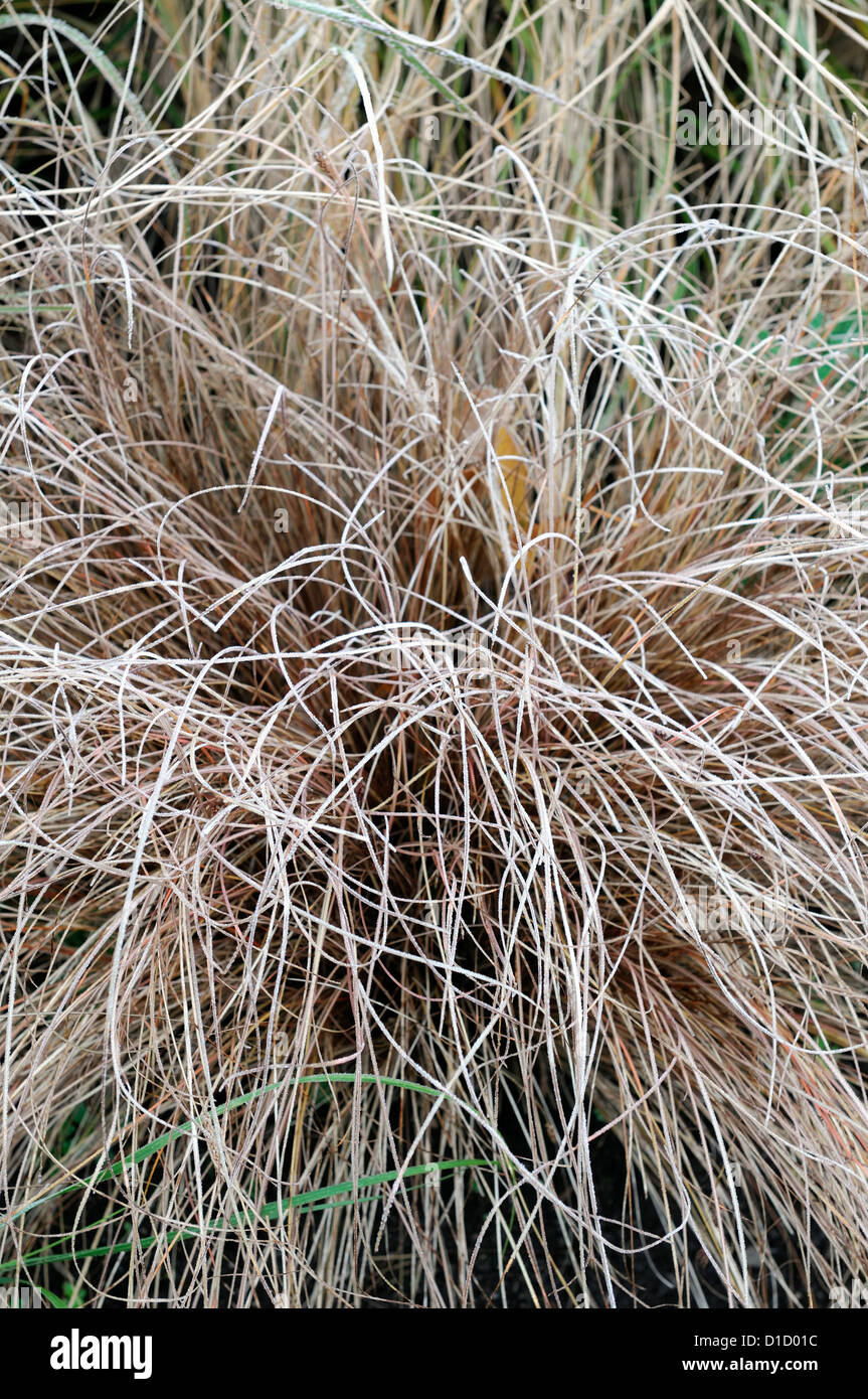 Carex Comans Bronze Frost Brown Ornamental Grasses Foliage Leaves Plant  Portraits Perennials Evergreens Winter Frosted
