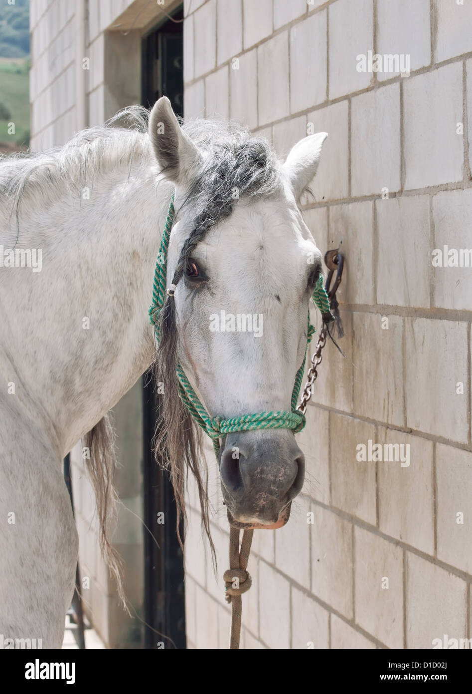 portrait of andalusian stallion near the stable at the rest - Stock Image