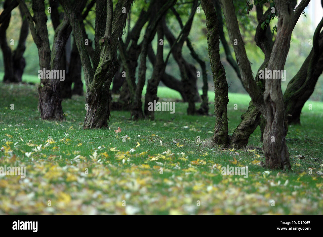 Garden of twisted tree trunks - Stock Image