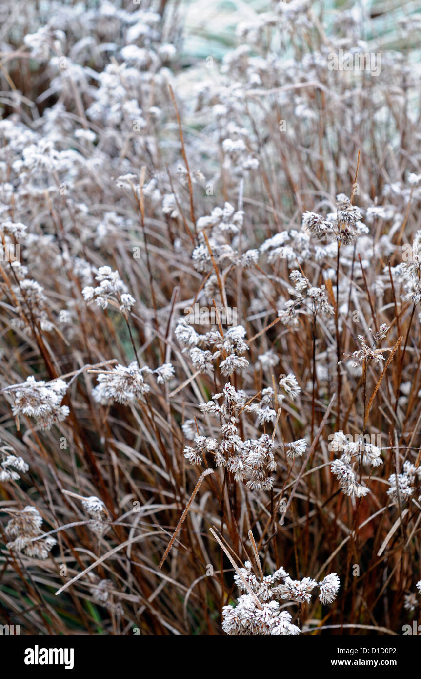 luzula nivea ornamental grasses grass foliage leaves seedheads plant portraits perennials winter frosted frosty - Stock Image