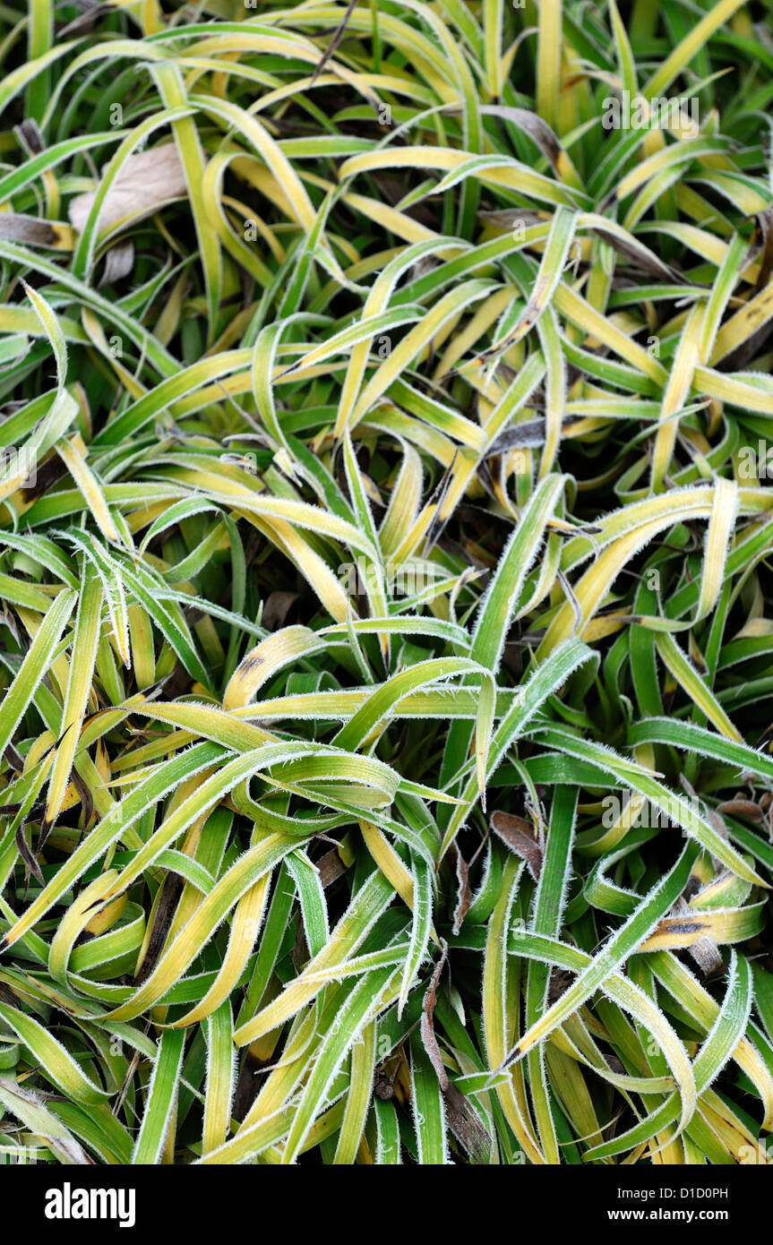 luzula sylvatica aurea ornamental grasses grass foliage leaves plant portraits perennials winter frosted frosty - Stock Image