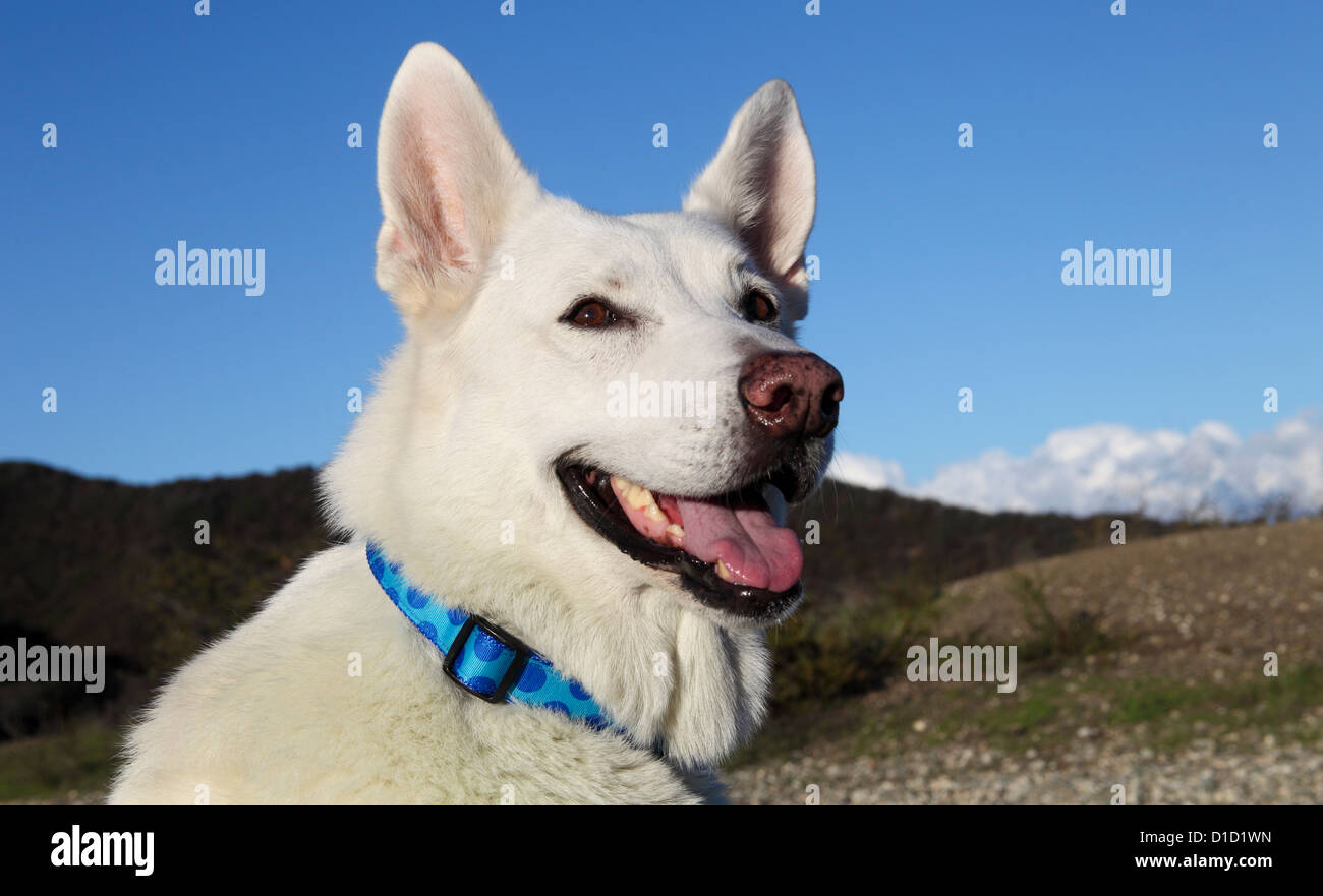 White German Shepherd in Westridge-Canyonback Wilderness Park in Southern California - Stock Image