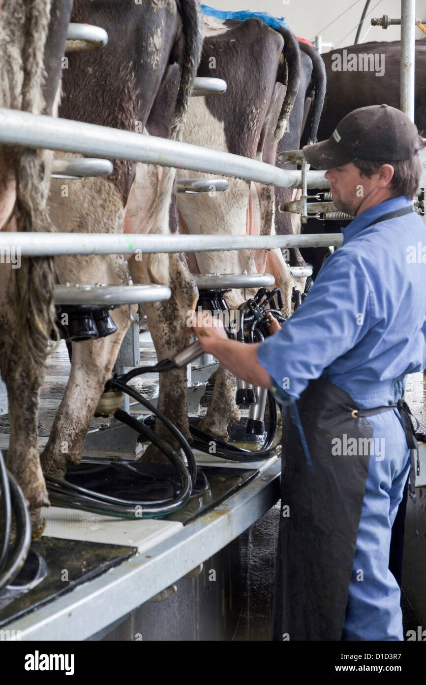 Carousel Milker, capable of milking 54 cows at a time. Farm hand attaches automatic milker to each cow as it rotates - Stock Image