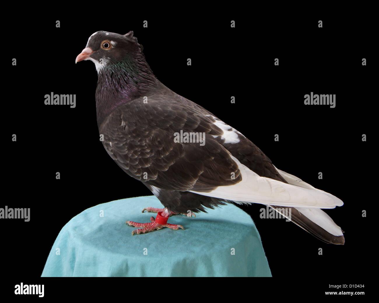 Serbian highflyer fancy pigeon on a plain black background. - Stock Image