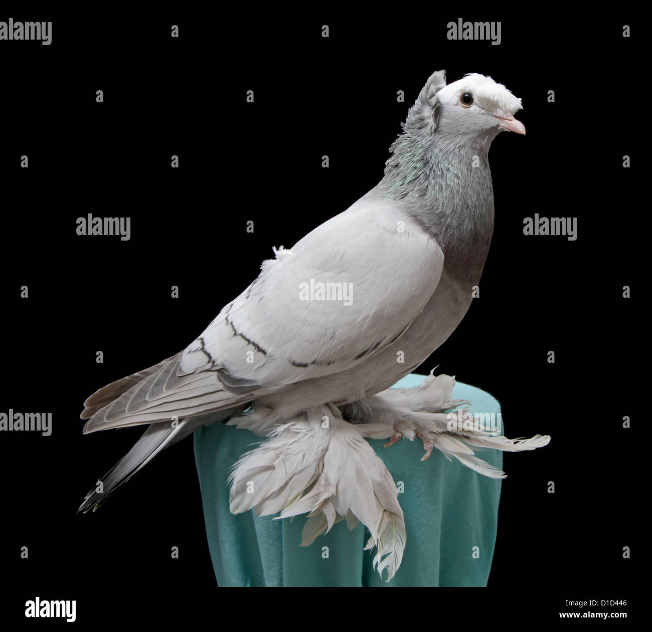 Silver double-crested priest fancy pigeon on a plain black background. - Stock Image