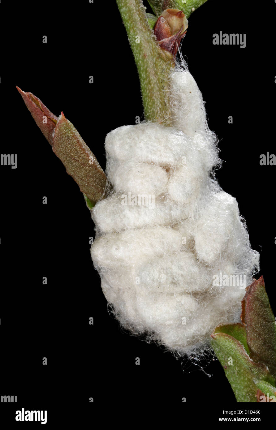 A cluster of cocoons of pupating wasps, Cotesia sp. - Stock Image