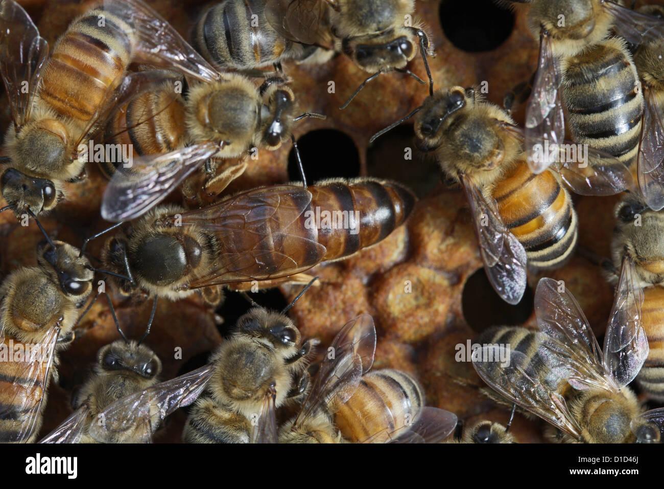 Queen honeybee with workers - Stock Image