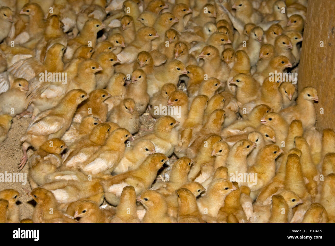 Large flock of fluffy yellow day old chicks at commercial free range poultry farm - Stock Image