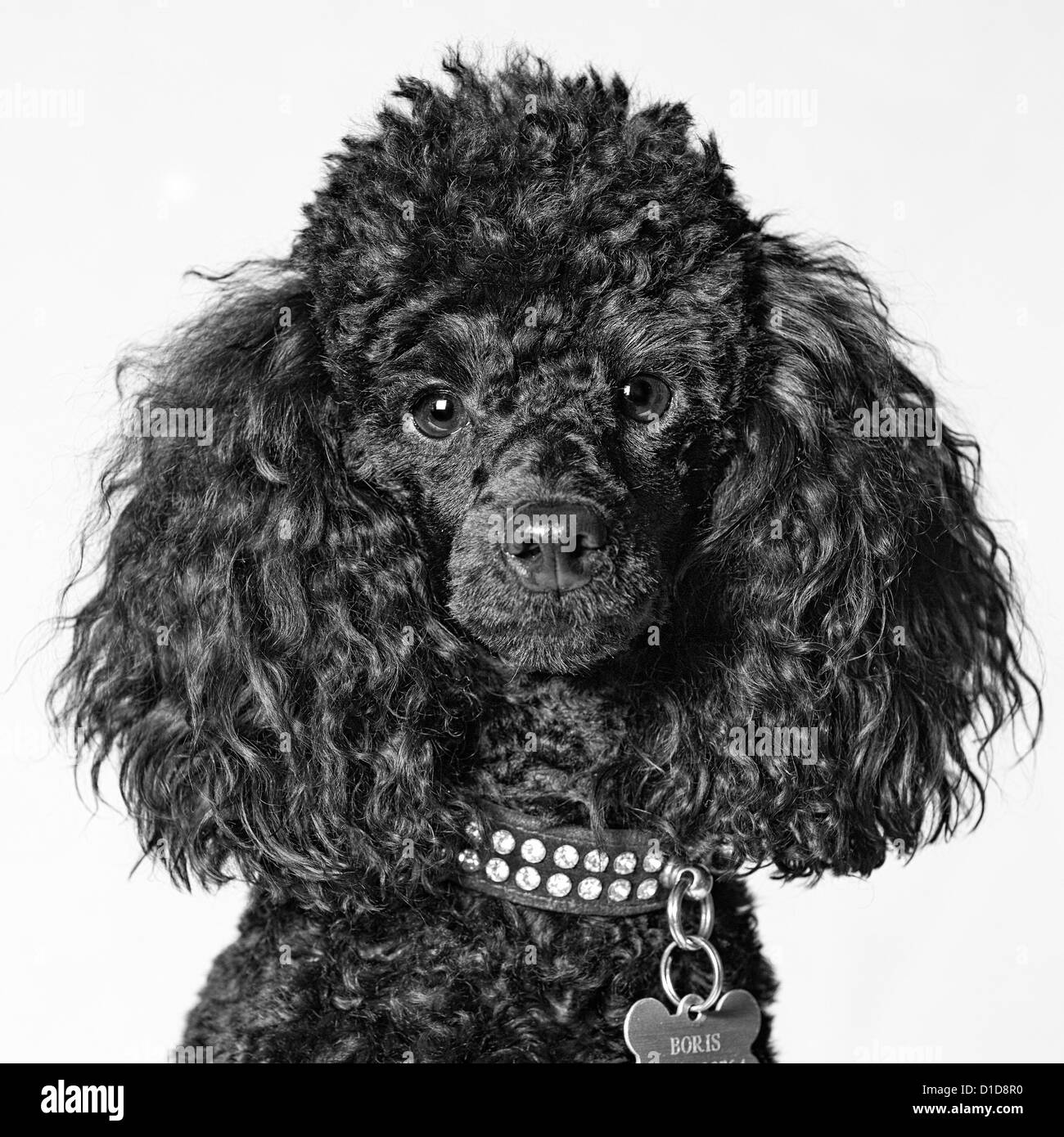 Young toy poodle head shot, monochrome - Stock Image