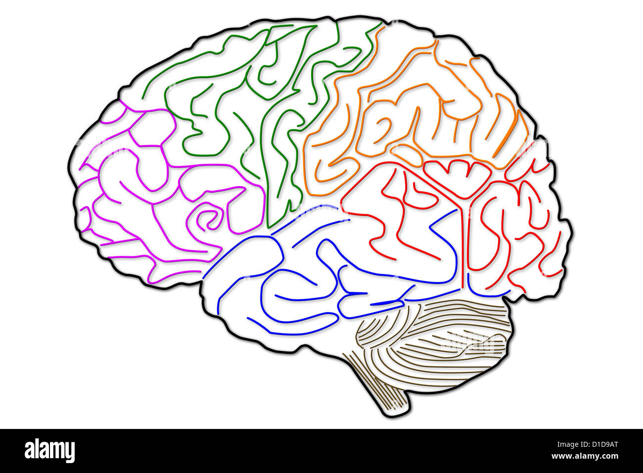 The Human Brain Structure Stock Photo 52538496 Alamy