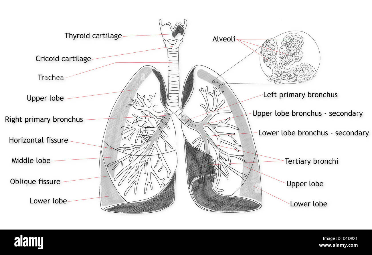Human Lung Structure Stock Photo 52538921 Alamy
