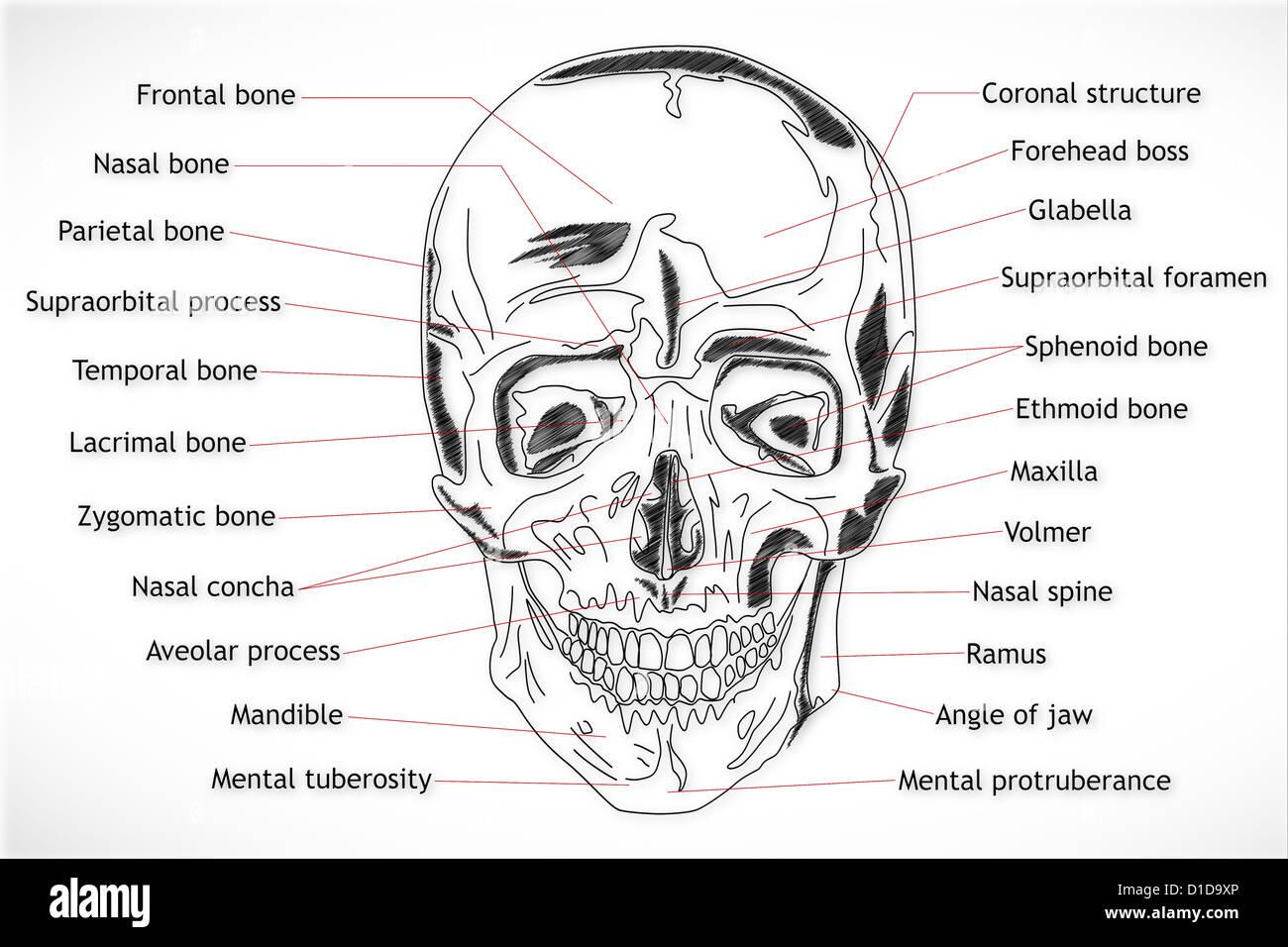 Sphenoid Bone Stock Photos Sphenoid Bone Stock Images Page 3 Alamy