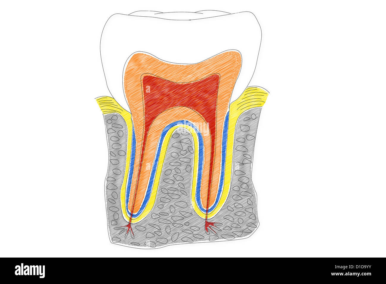 Structure Human Teeth Illustration Stock Photos & Structure Human ...