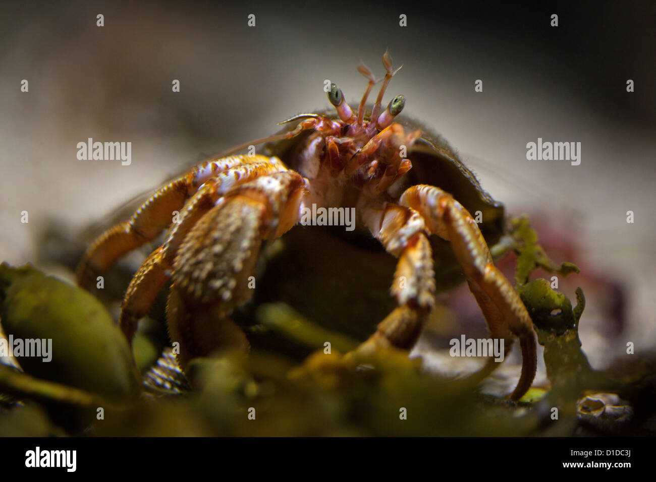 Hermit crab in Bergen Aquarium. - Stock Image