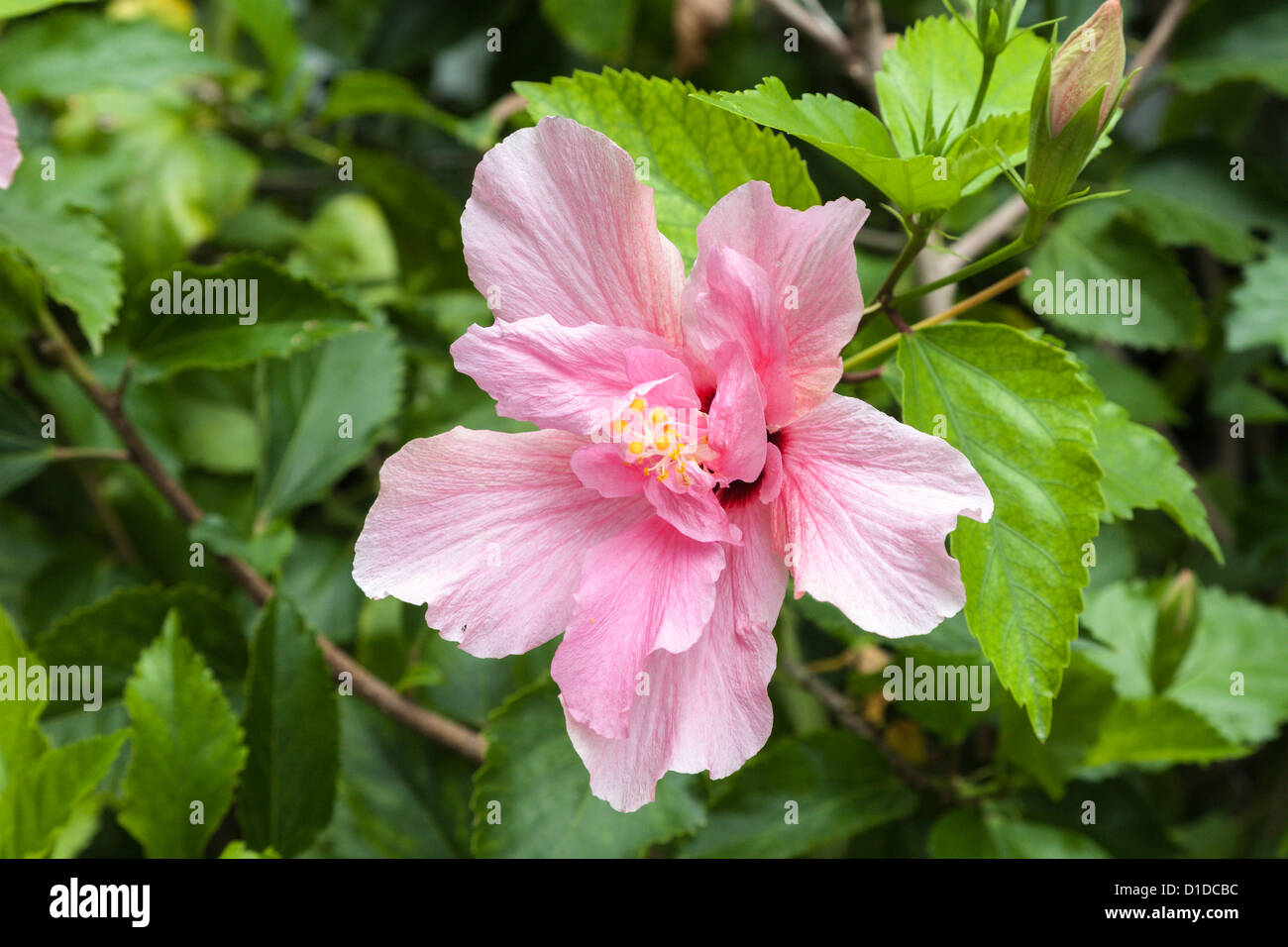 Pink hibiscus flower also known as rosemallow on leafy green plant pink hibiscus flower also known as rosemallow on leafy green plant izmirmasajfo
