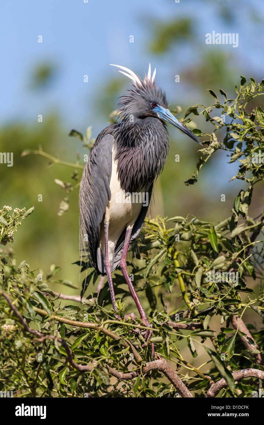 Tricolored Heron, Egretta tricolor, perched on tree in St. Augustine Alligator Farm Zoological Park, St. Augustine, - Stock Image