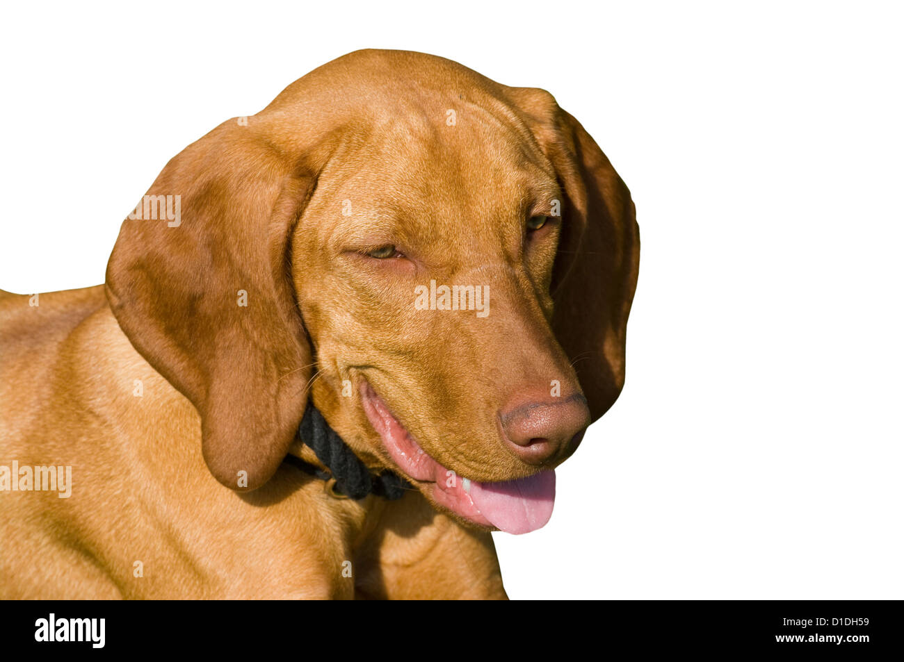Brown Dog Panting with its tongue out - Stock Image