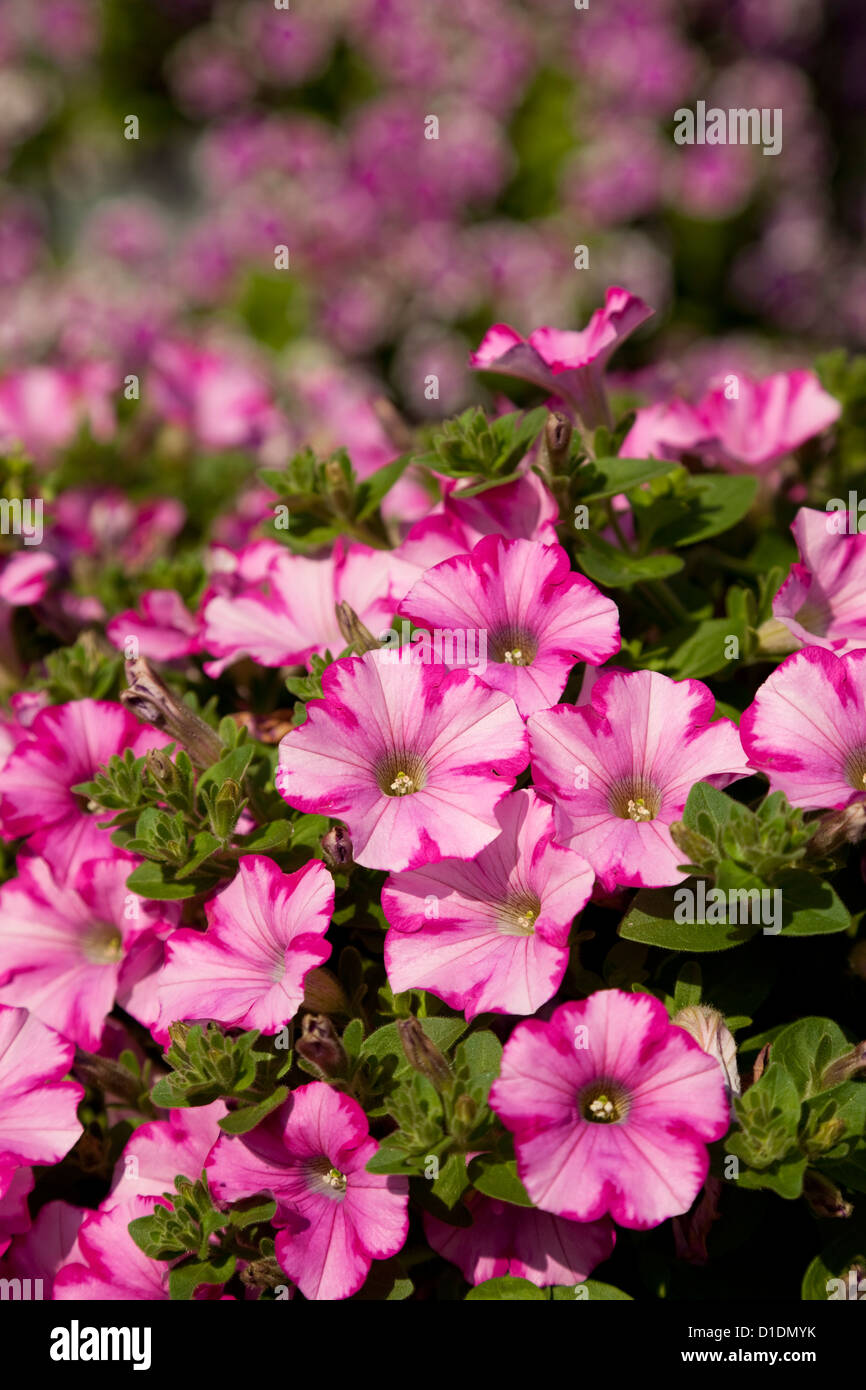 Blooming pink petunia as background nature - Stock Image