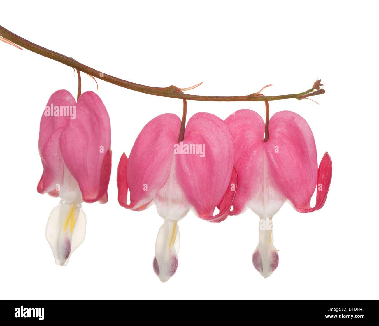 flower in heart shape (Lamprocapnos spectabilis) on white - Stock Image