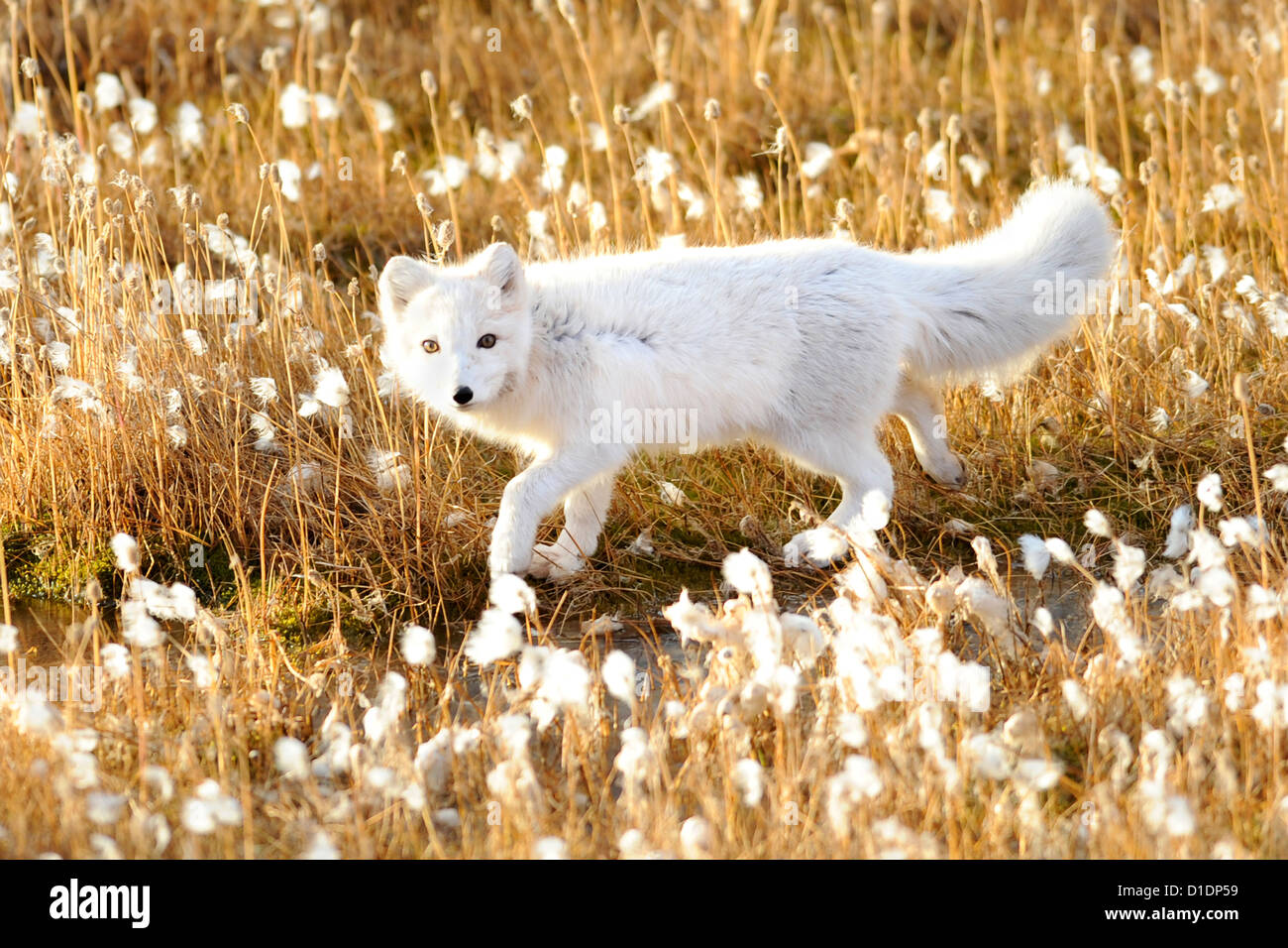 An arctic fox walks through cotton grass September 17, 2012 in Pituffik, Greenland. - Stock Image