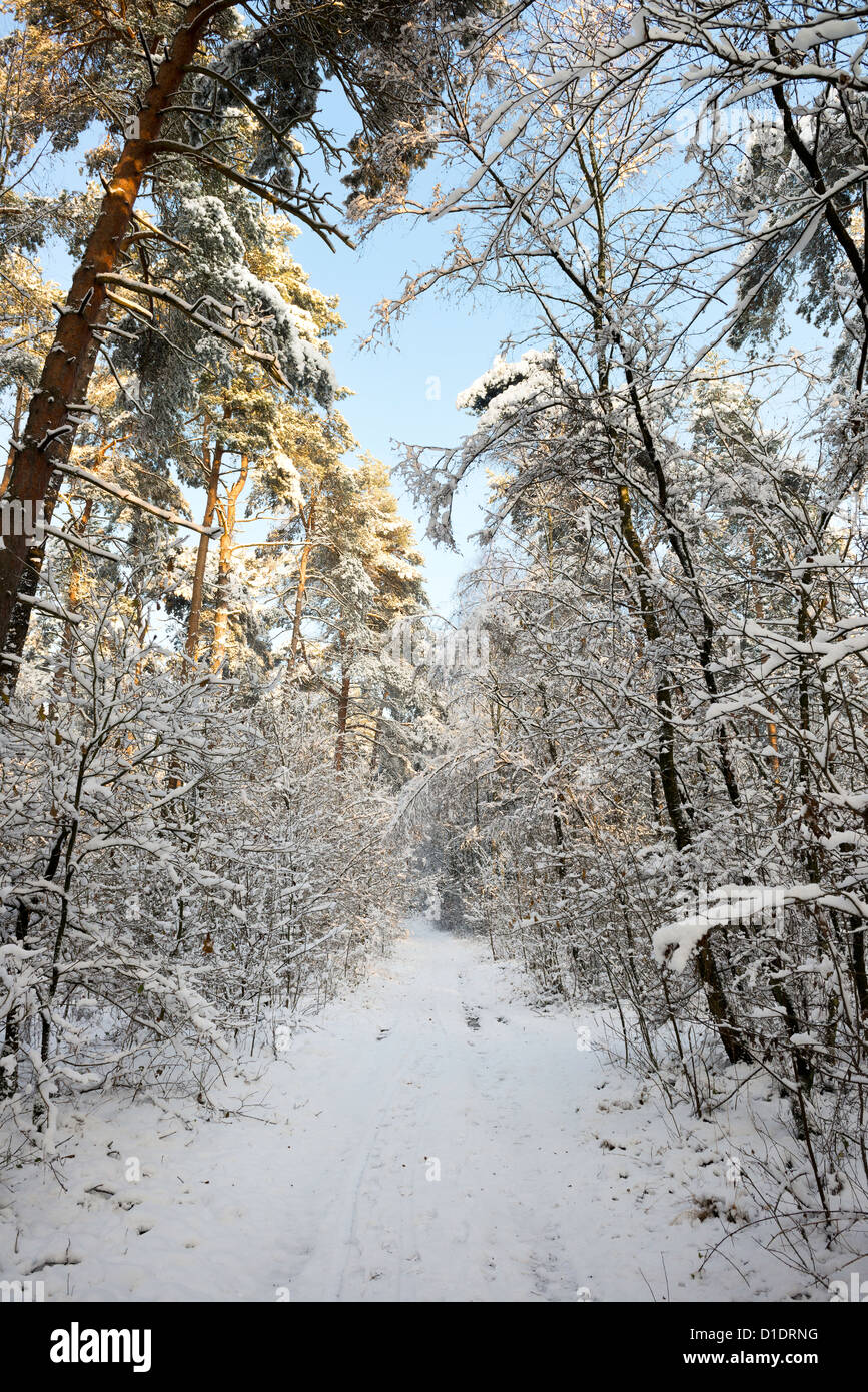 winter forest with pines and mixed trees - Stock Image