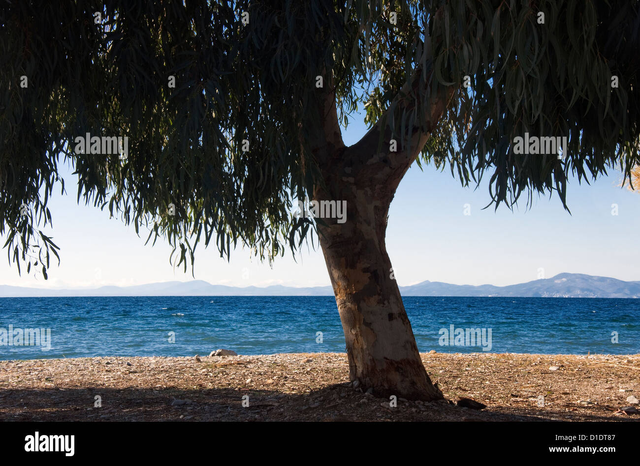 Eucalyptus tree on a beach at the Pagasitic Gulf (Pelion Peninsula, Thessaly, Greece) - Stock Image