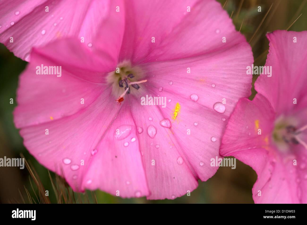 Mallow Bindweed - Stock Image