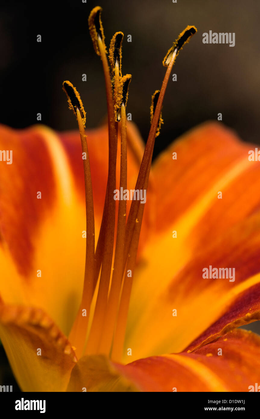 Bloom of the Orange Daylily  (detail) - Stock Image