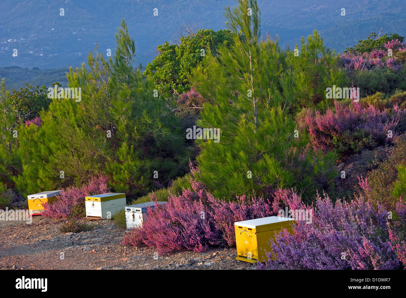 Bee hives between clumps of heather - Stock Image