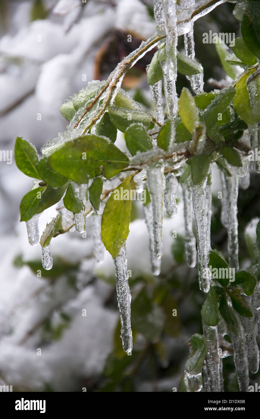 Evergreen twig with icicles - Stock Image