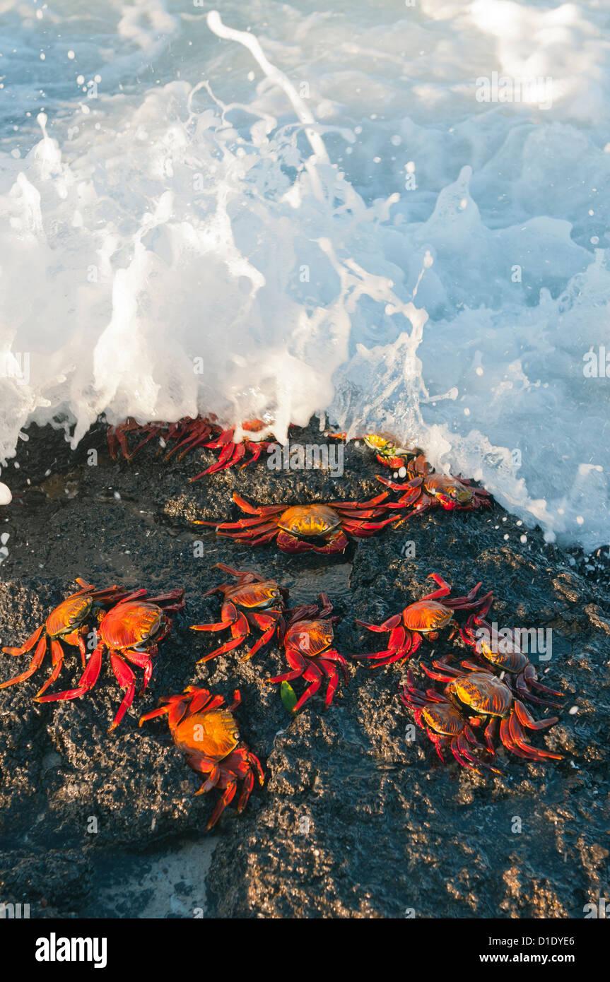 Sally Lightfoot Crabs (Grapsus grapsus) in surf, Galapagos islands, Ecuador - Stock Image